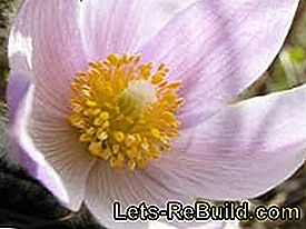 Plant and maintain anemones in the garden: maintain