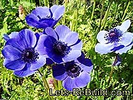 Plant and maintain anemones in the garden: plants
