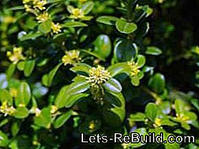 Boxwood: fighting diseases, pests and fungal attacks: boxwood