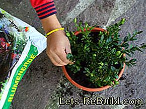 Boxwood: fighting diseases, pests and fungal attacks: diseases