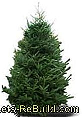 Christmas tree varieties - Which Christmas tree is the right one?: right
