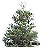 Christmas tree varieties - Which Christmas tree is the right one?: christmas