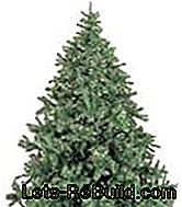 Christmas tree varieties - Which Christmas tree is the right one?: varieties