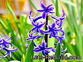 Cultivate hyacinths as an early-flowering houseplant and overwinter: overwinter