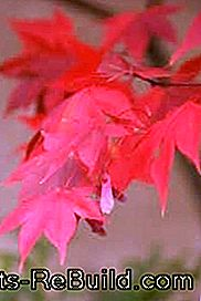 Plant and maintain a maple tree in the garden: maple