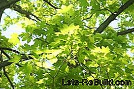 Plant and maintain a maple tree in the garden: plant