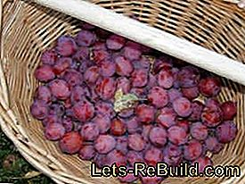 Grow, harvest and process the plums: plum