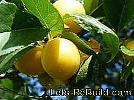Grow, harvest and process the plums: plums