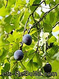 Grow, harvest and process the plums: process