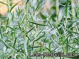 Plant and maintain real tarragon: plant