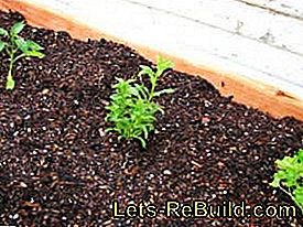 Plant and maintain real tarragon: real
