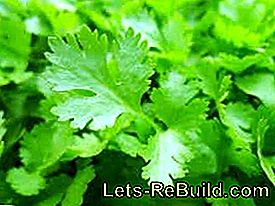 Plant and care for smooth and curly leaf parsley: smooth