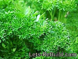 Plant and care for smooth and curly leaf parsley: plant