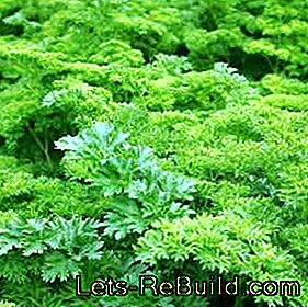 Plant and care for smooth and curly leaf parsley: curly