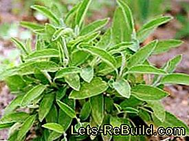 Plant and maintain spicy medicinal herb: spicy