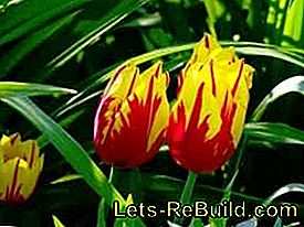 Plant and care for tulips: flowers