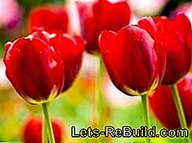 Plant and care for tulips: tulips