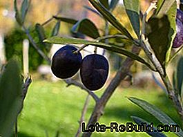 Mediterranean fruits: olives