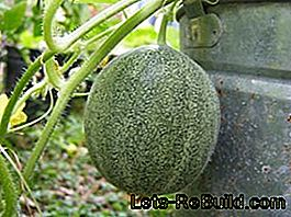 Melon on the bush