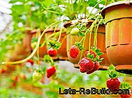 Hanging strawberries on the balcony