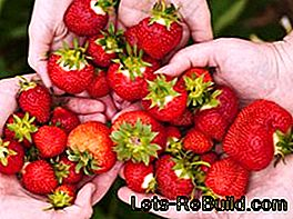 Patted strawberries