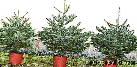 Christmas tree in the pot - where to get it and how to care for it