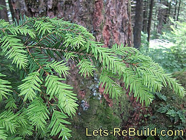 Brush Douglas Fir » That'S Something You Should Keep In Mind