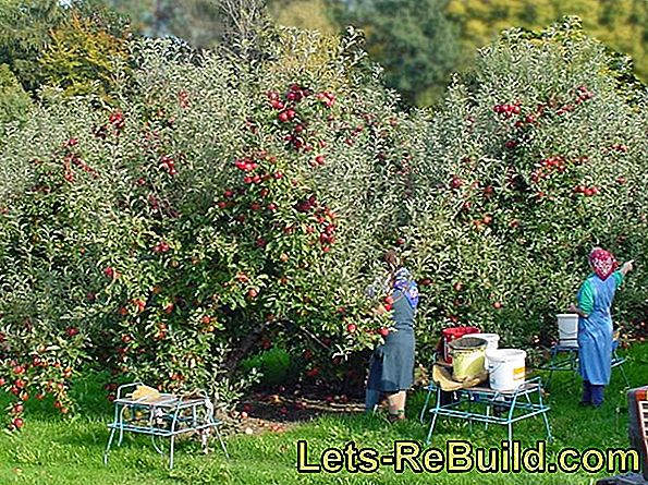 Apple harvest in autumn: tips for harvesting