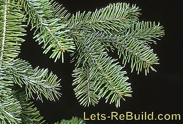 Christmas Tree Varieties - Which Christmas Tree Is The Right One?