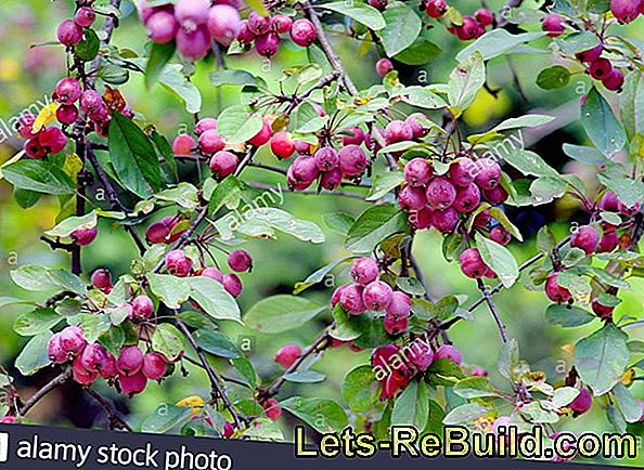 Ornamental Apple (Malus): Cut Ornamental Apple And Ornamental Apple