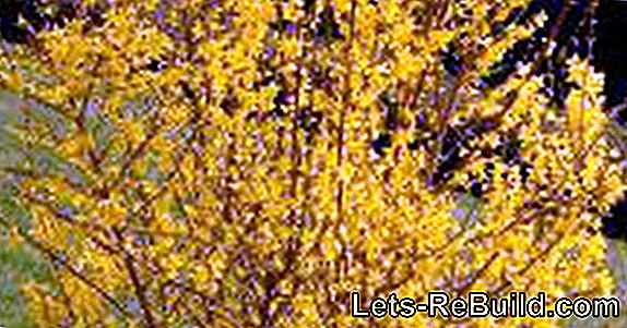 Forsythia - properly grow, cut and care for the yellow premature flowering plants