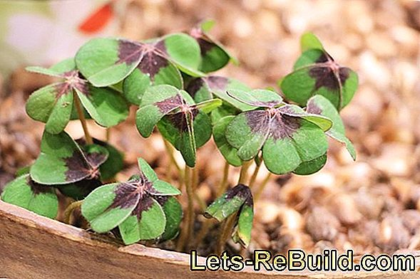 Grow Four-Leaved Sorrel In The Garden