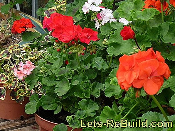 Plant Geraniums As Potted Plants And Care For Them