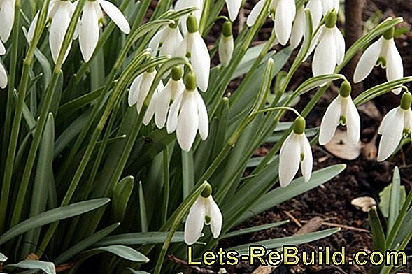 Spring Messenger From Flower Bulbs: Plant Crocus