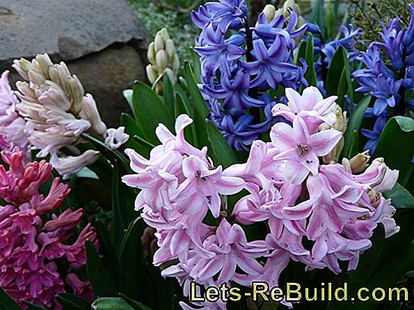 Cultivate hyacinths as an early-flowering houseplant and overwinter