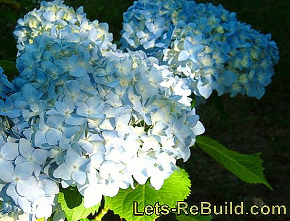 Plant and maintain hydrangeas