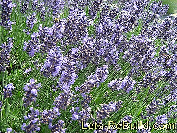 Plant and care for lavender properly