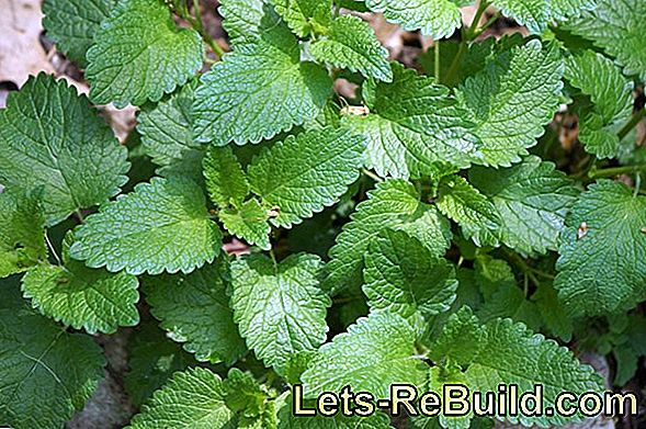 Pull lemon balm (Melissa officinalis) in the herb garden