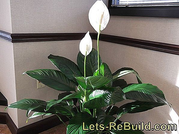 Maintain lilies as a houseplant properly