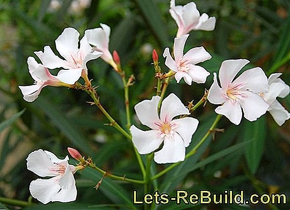 Grow oleander and cultivate it