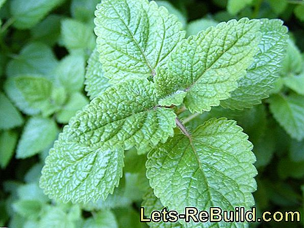 Ornamental Plants With Lemon Flavor