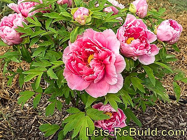 Plant And Care For Peonies In The Garden
