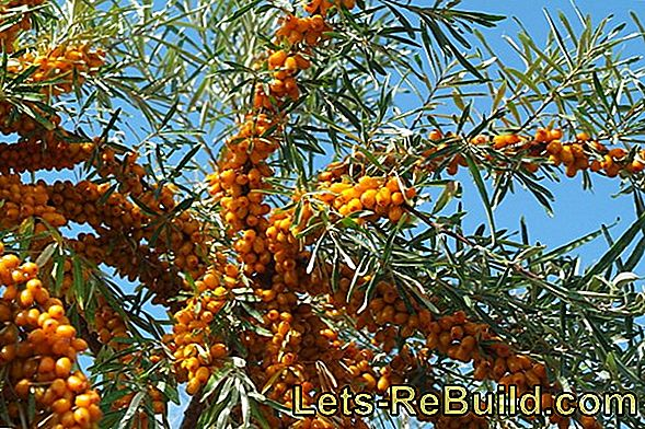 Pick Berries: Sea Buckthorn, Rose Hips And Ornamental Berries