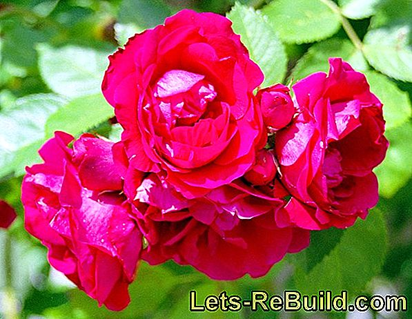 Roses: Everything about the different types of roses