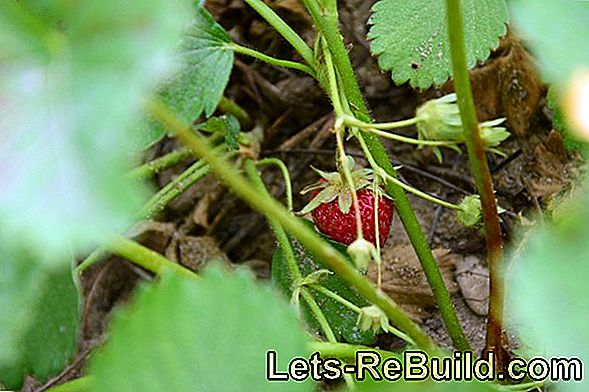 Create A Snack Garden: Harvest Berries And Fruits