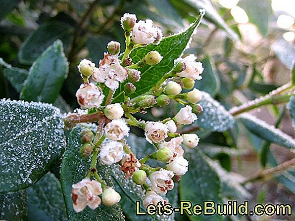Plant And Nurture The Snow-Rose As A Winter-Flowering Ornamental Flower