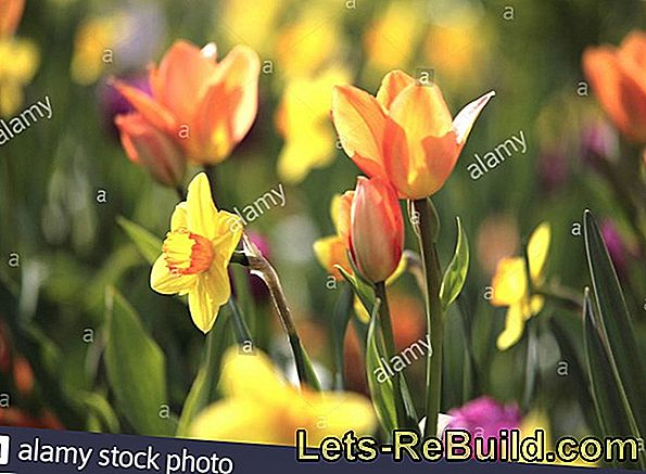 Tulips - Colorful Spring Messengers