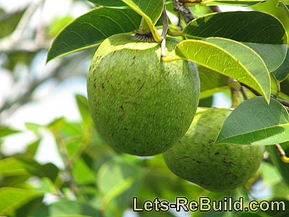 Plant apples and cut apple tree