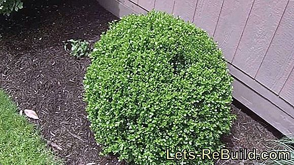 Boxwood: Cut and maintain boxwood