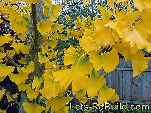 Gingko: The eternal tree with healing power